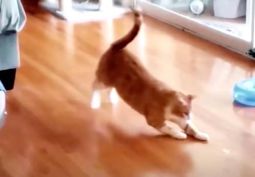 レーザーポインターで遊ぶ茶トラ猫