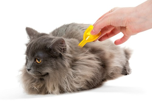 ノミの予防薬をつけられている猫