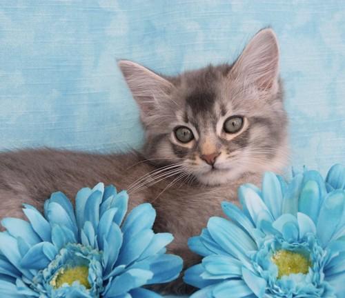 青い花とブルーのソマリの子猫