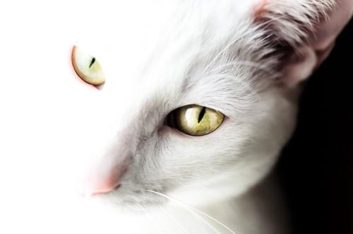 こちらを見上げる白猫の細い瞳