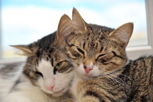 顔をくっつける二匹の猫