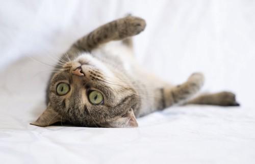 ごろーんとしている猫