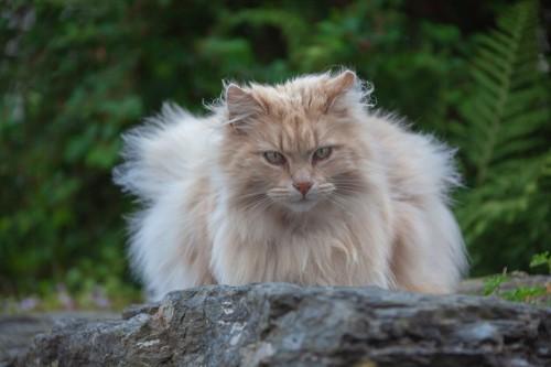 石の上で伏せをしているたてがみのある長毛の猫