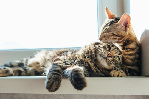 窓辺のグルーミング中の二匹の猫