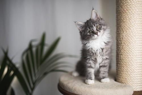 こちらを見つめる子猫