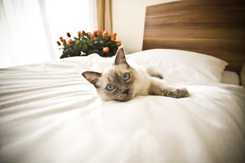 ホテルのベッドね横になる猫