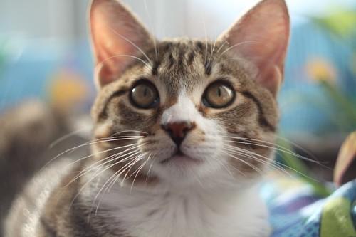 真っすぐ見つめる猫の顔アップ