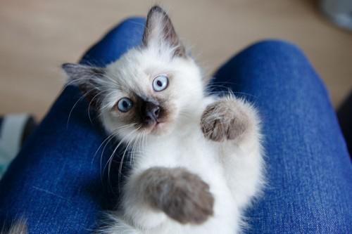 仰向けで膝に乗っている子猫
