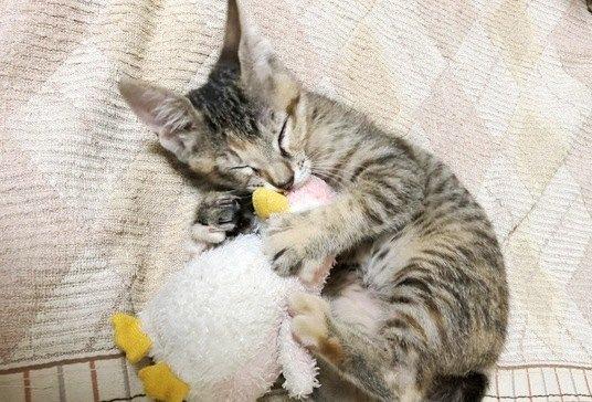 ぬいぐるみを抱きしめるふくちゃんという猫