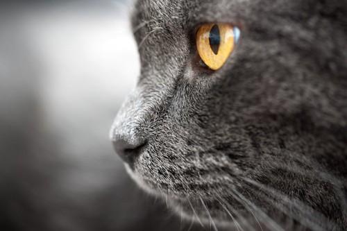 真剣な猫の横顔アップ