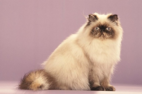 座ってこちらを見るペルシャ猫