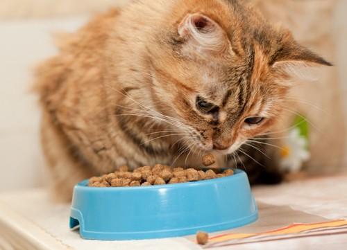 プラスチックの餌皿で餌を食べる猫