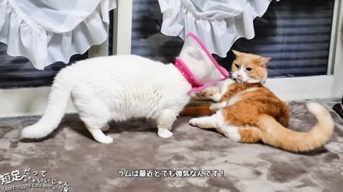 白猫と横になった茶白猫