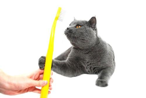 黄色い歯ブラシと猫