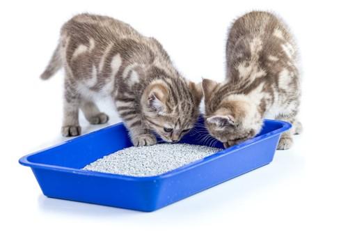 猫用トイレの匂いを嗅ぐ2匹の子猫