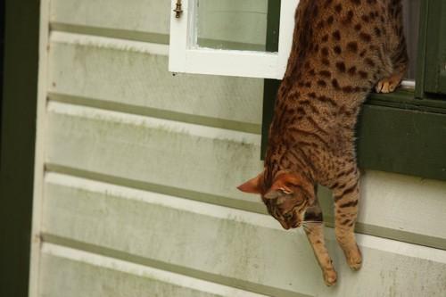 ペットフェンスのない窓から外に飛び降りる猫
