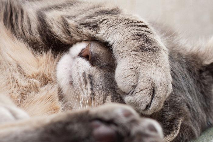 顔を隠して眠る猫の写真