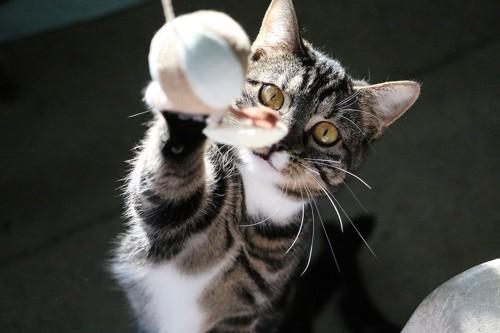 おもちゃに興味を持つ猫