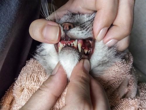 猫の口を無理やり開ける人の手