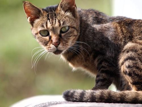 こちらを見つめる痩せている猫