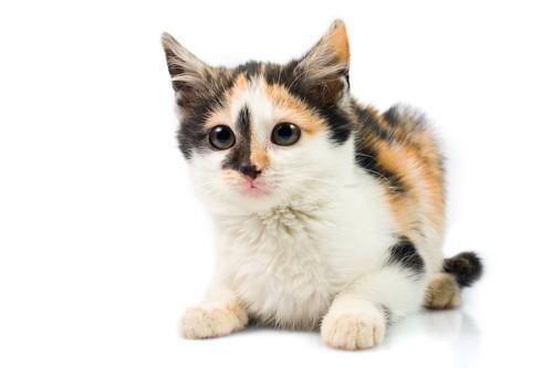何かを見つめる子猫の三毛猫