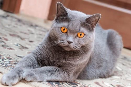 前足を前に出して座る猫