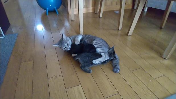子猫をかわいがる先輩猫