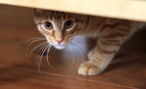 警戒して家具の下に隠れる猫