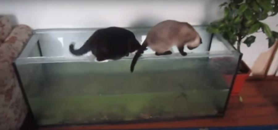 水槽を覗く猫
