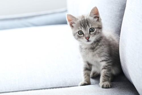 ソファーの上に座る子猫