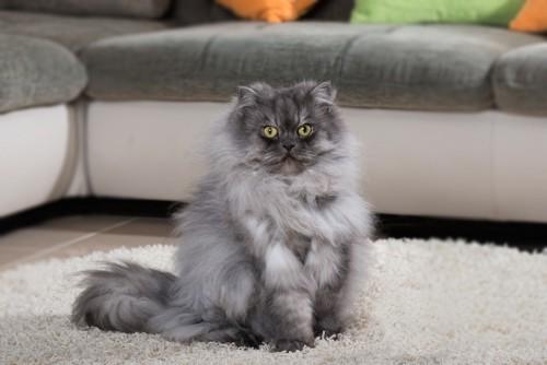 ソファの前の長毛猫