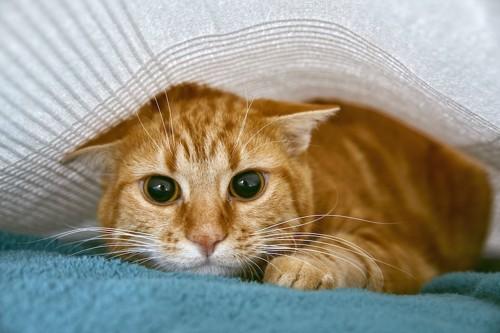 シーツの下に隠れている茶トラ猫