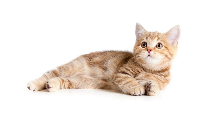 横たわっている猫