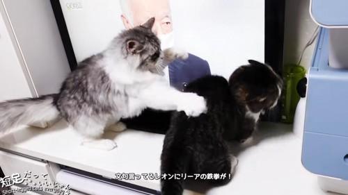 猫パンチする長毛猫