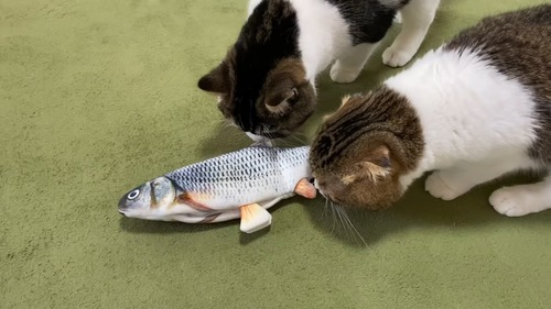 魚のおもちゃに顔をつか付ける2匹の猫