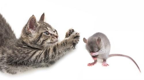 ねずみを追いかける子猫