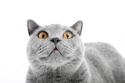 驚いた表情の猫の顔アップ
