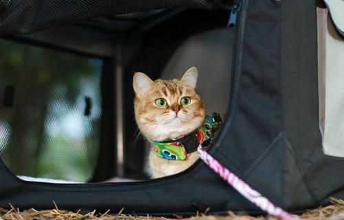 キャリーバッグ内のハーネスを着けた猫