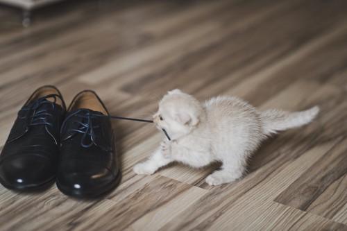 靴の紐を引っ張る子猫