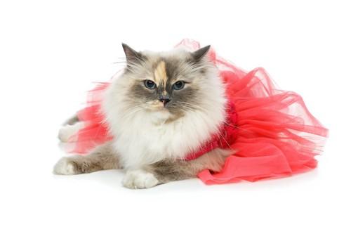 ひらひらのピンクのドレスを着た猫