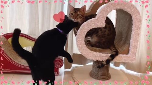ベンガルと黒猫