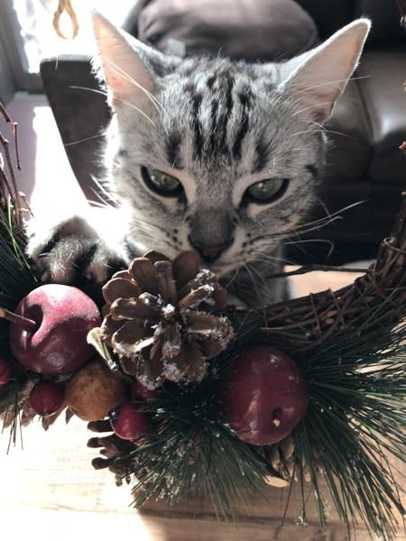猫 アメリカンショートヘア ラピスの写真