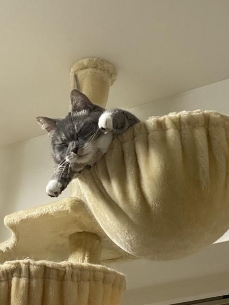 猫 マンチカン サブロウの写真