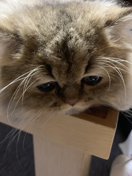 猫 ペルシャ メル君の写真
