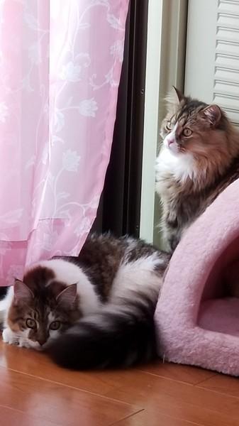 猫 スコティッシュフォールド シナモンの写真