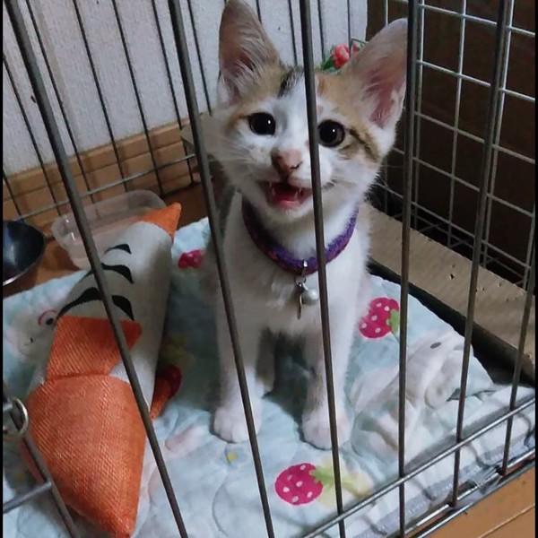 猫 雑種(ミックス) こむぎの写真