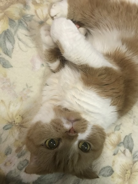 猫 スコティッシュフォールド ピノコの写真