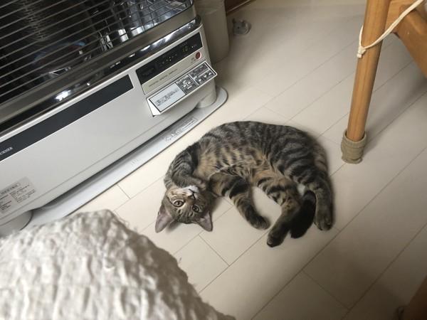猫 キジトラ のあの写真