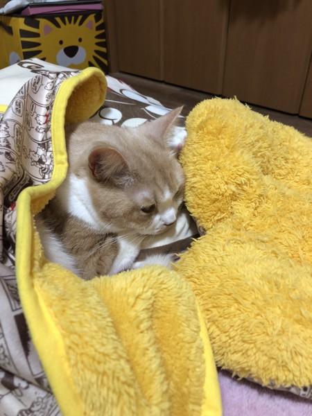猫 マンチカン トラちゃんの写真