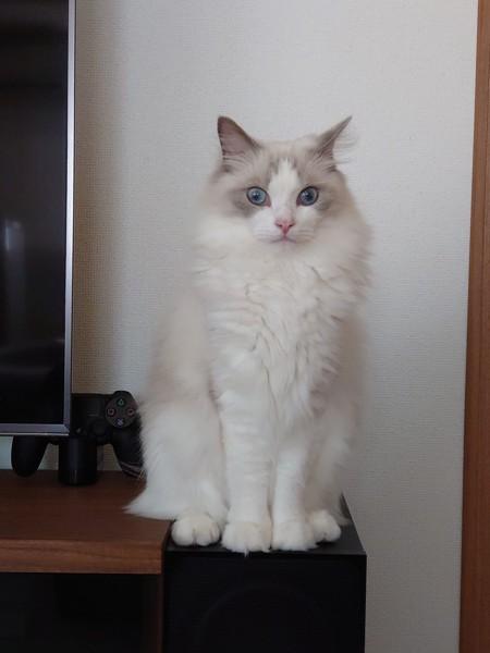 猫 ラグドール 蘭くんの写真